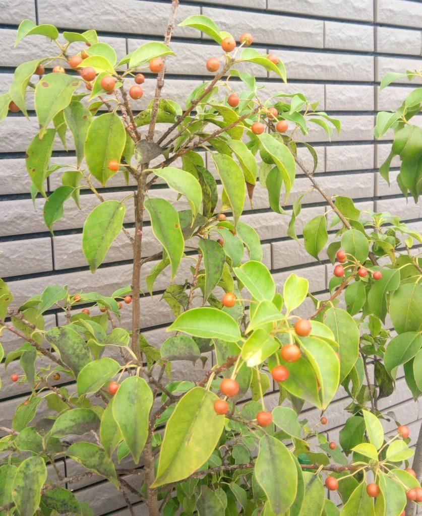 秋になるとソヨゴの実が赤く色づく