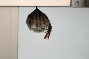 わが家のベランダにつくられた蜂の巣