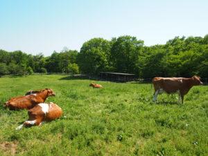 牛たちがくつろいでいます